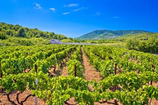 Mediterranean vineyard on Vis island