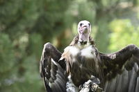 Close up of Hooded vulture (Necrosyrtes monachus)