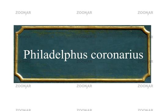 shield  Philadelphus coronarius