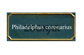 schild Philadelphus coronarius, europaeischer gewoehnlicher pfeifenstrauch, falscher jasmin