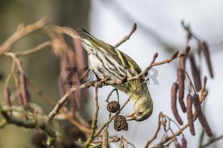 Erlenzeisig (Carduelis spinus)