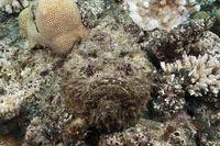 Echter Steinfisch, Australien
