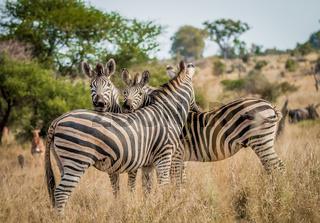 Bonding Zebras in the Kruger National Park