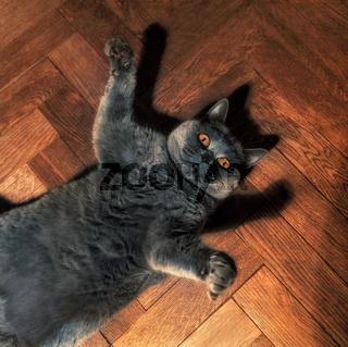 Fat funny British cat