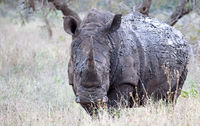 white rhinoceros with mud, South Africa