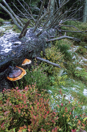 Red-banded Polypore grows on conifer trees