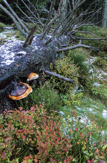 Rotrandiger Baumschwamm waechst an Nadelholz und Laubbaeumen - (Fichtenporling - Fichten-Porling) / Red-banded Polypore grows on conifer trees and hardwood trees - (Red-belted Bracket) / Fomitopsis pinicola - (Fomes marginatus)