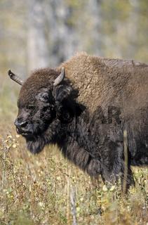 Praeriebisonkuh beobachtet Artgenossen - (Indianerbueffel - Bueffel) / Plains Bison cow observing conspecifics - (American Buffalo - Plains Bison) / Bison bison - Bison bison (bison)