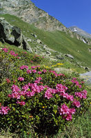 Alpenrose grows in the Alps