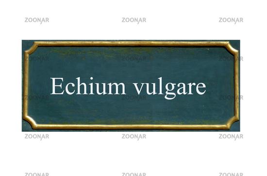 shield echium vulgare
