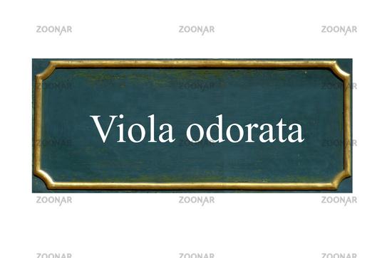 shield viola odorata