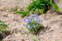 Small blue flowers in dry soil of garden