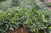 Teeplantage auf der Insel Mahe, Seychellen