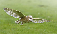 The Barn owl in fly.
