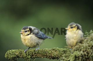 Blaumeisen fluegge Jungvoegel sitzen auf einem bemoosten Ast / Blue Tit fledglings sit on a mossy branch - (Eurasian Blue Tit - Torntit) / Cyanistes caeruleus - (Parus caeruleus)