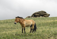 Przewalski's horses (Equus ferus przewalskii), Mogolia