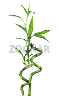 Bamboo isolated   white
