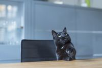 A black cat sitting at the kitchen table and looks
