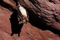 greater mouse-eared bat - hibernating in a mine ga