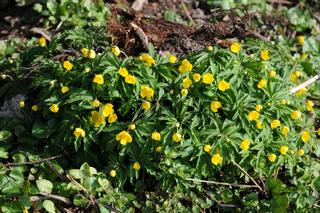 Anemone ranunculoides, Gelbe Waldanemone, Yellow wood anemone