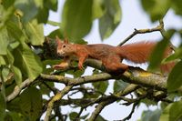 red squirrel in a walnut tree