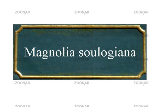 shield  Magnolia soulogiana