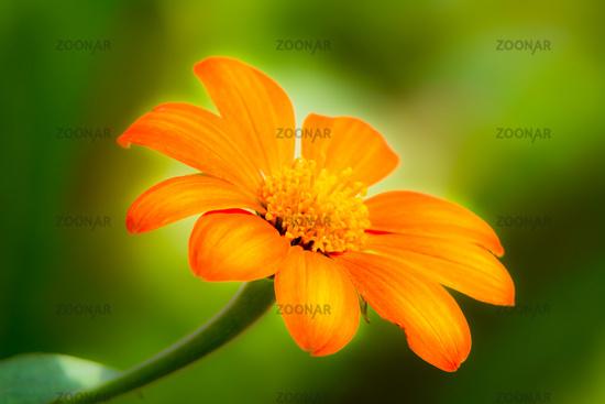 Orange daisy blossom