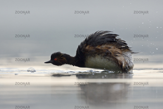 Shaking... Black-necked Grebe *Podiceps nigricollis*