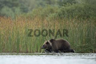 auf der Pirsch... Europäischer Braunbär *Ursus arctos*