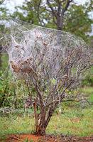 tree full of spider webs, Etosha NP, Namibia