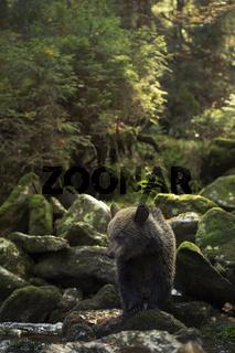 unentschlossen... Europäischer Braunbär *Ursus arctos*
