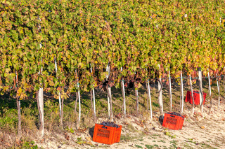 Grape harvesting in Piedmont.