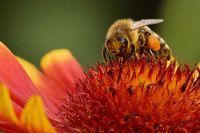 1 Kokardenblume Hummel.jpg