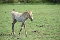 The Przewalski's horse.