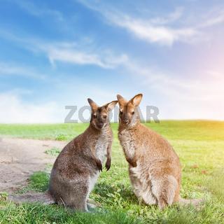 Kangaroo couple standing