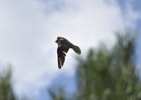 Saker Falcon (falco cherrug) flying