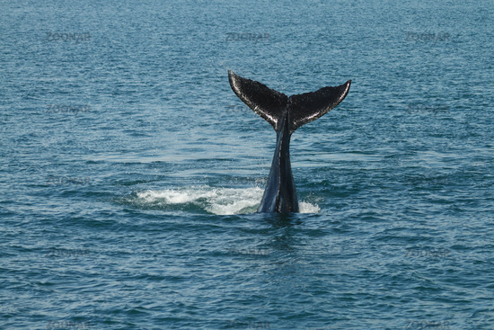 A young Humpback whale waves its tail fluke out of the Atlantic Ocean.