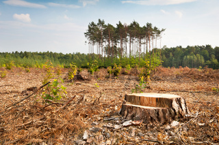 Woods lone trunk in deforestation