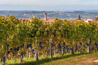 Vineyards of Piedmont, Italy.