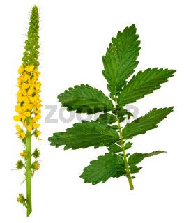 Medicinal plant:Agrimonia eupatoria. Common agrimony