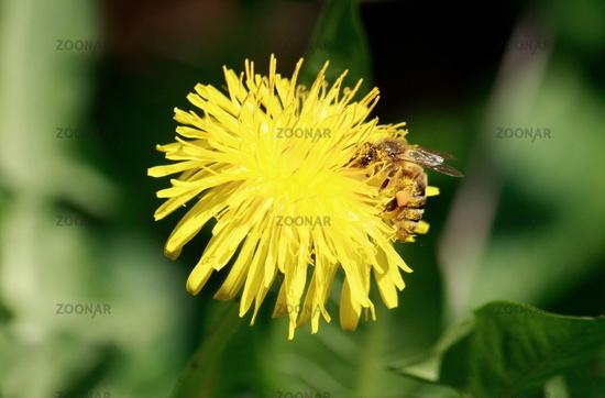 dandelion, Bee in flower