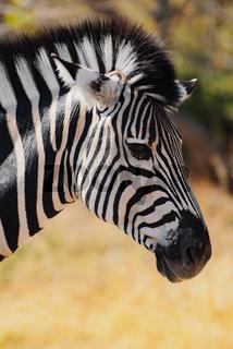 Zebra in Namibia Afrika