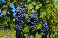 Weintraube rot - grape red 35