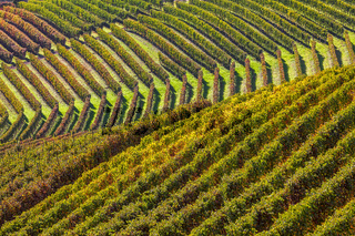 Rows of vineyards in the hills.
