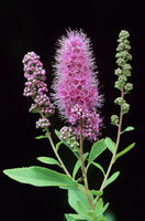 Bridewort is native to the Northern Hemisphere