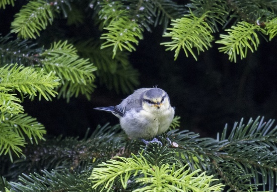 European Blue Tit