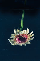 Flower against dark background in the water