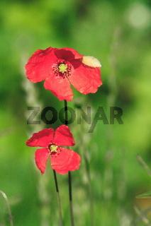Mohnblüte, rote