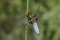 Broad-bodied chaser dragonfly (Libellula depressa), male