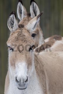 Onager, Asiatischer Esel,Persian onager,Equus hemionus onager,